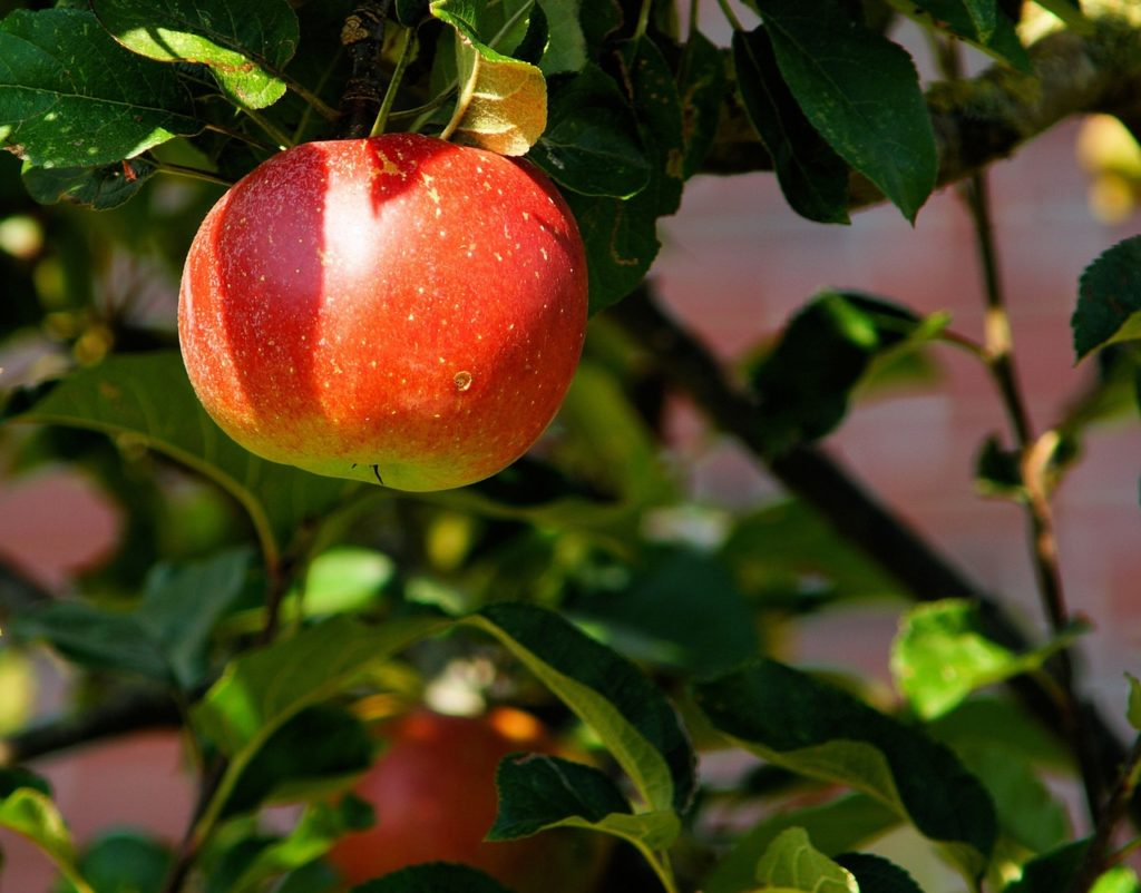 apple-tree-branch-apple-fruit-52517