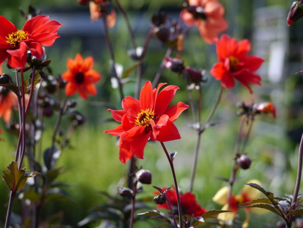dahlia-bishop-of-llandaff_7590507760_o