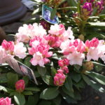 rhododendron_7591090980_o