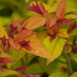 spirea-magic-carpet_7591022500_o