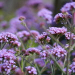 verbena-lollipop_7590482220_o