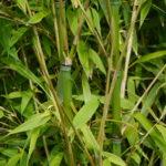 bamboo_7590392886_o