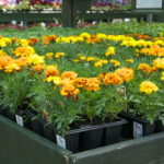 bedding-marigolds_7591274798_o