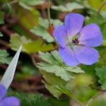 geranium-joy_7590386410_o