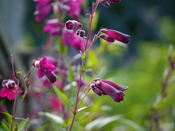 penstemon-midnight_7590487540_o
