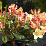 rhododendron-spring-torch_7591096950_o