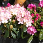 rhododendron_7591116992_o