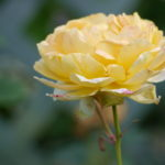 rose-eglantyne_7590361214_o