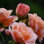 rose-schoolgirl_7590365750_o