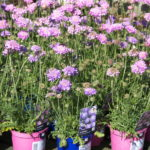 scabious-pink--blue-mist_7591137146_o